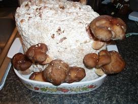 growing shitake mushrooms
